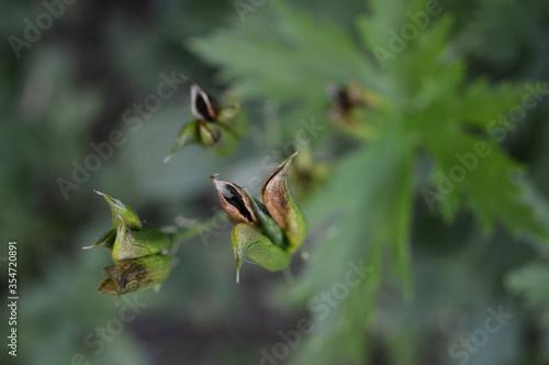 Vászonkép Landscape photo of delphinium larkspur seedpods