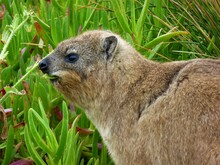 Cape Rock Hyrax Eating
