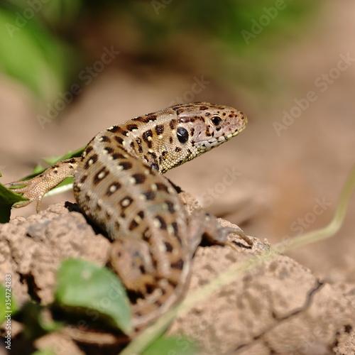Fototapeta female lizard lacerta agilis