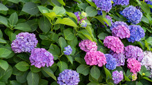 Multi Colored Hydrangea Bush With Green Leaves