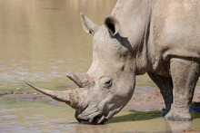 One Adult White Rhino Drinking Water Headshot Kruger Park South Africa