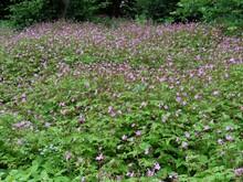 Wood Cranesbill Flowers