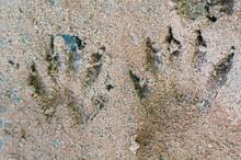 Raccoon Footprints On The Sand...