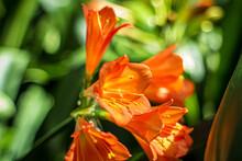 Orange Bush Lily, Kaffir Lily, Bush Lily, Thong Lily, Natal Lily, Clivia Miniata 'Solomone Variegated Pastel'