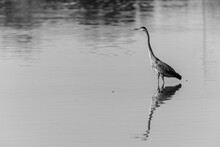 Great Blue Heron Wading In The...