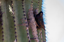 Starling In Saguaro Cactus In ...