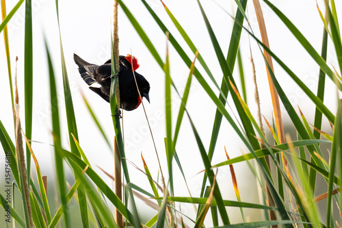 Red winged black bird perched on reeds and cattails Canvas Print