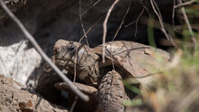 Gopher Tortoise In The Wild