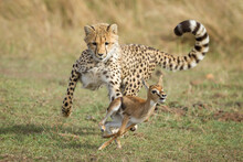 Young Cheetah Chasing A Baby T...