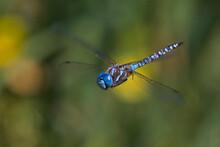 Blue-eyed Darner Dragonfly Mal...