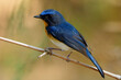 Close up pf beautiful bird with bright yellow breast white belly and long tail perching on dried bamboo stick in wild, Tickell's blue flycatcher (Cyornis tickelliae)