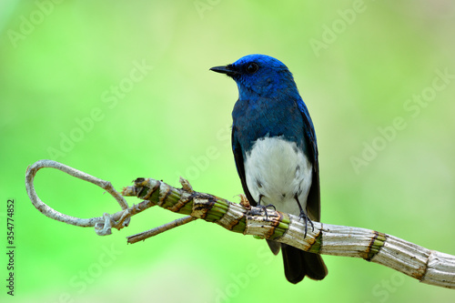 Tela Grace blue bird with white feathers on its belly perching on wild orchid vine ex