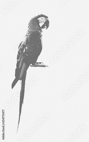 Fototapeta Macaw parrot bird in grey style livery over white background for texture works a