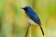 Male of Tickell's blue flycatcher (Cyornis tickelliae) exotic bird with orange breast white belly and long tail with sharp eyes calmly sitting on bamboo branch in nature