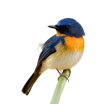 Tickell's blue flycatcher (Cyornis tickelliae) litlle blue bird with orange breast white belly and big eyes perching on bamboo stick isolated on white background