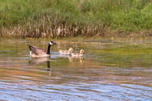 Canada Goose With Two Goslings In The Pond
