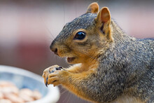 Fox Squirrel Eating Seeds
