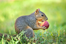 Happy Looking Squirrel (Sciuru...