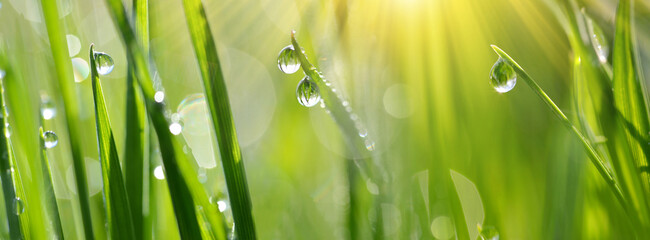 Panel Szklany Podświetlane Do kuchni Lush green blades of grass with transparent water drops on meadow close up. Fresh morning dew at sunrise. Panoramic spring nature background.