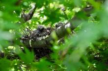 巣で親を待つキジバト...