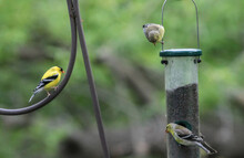American Goldfinches On Bird F...