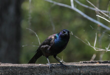 Common Grackle Perched On Wooden Fence Looking At Camera