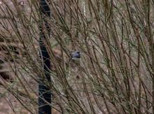 Dark-Eyed Junco Bird Sitting O...