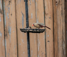 Female Cardinal On Bird Feeder Eating