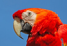 Detail Head Of Parrot Scarlet ...