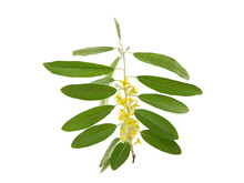 Branch Of Blooming Russian Olive Tree Isolated On White, Elaeagnus Angustifolia