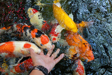 Feeding Koi Fish Carp By Hand ...