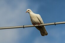 Low Angle Shot Of A White Dove...