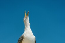 Low Angle Shot Of A Seagull With Opened Mouth Isolated On Blue Sky Background