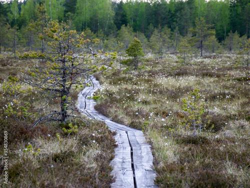 Bog forest natural background. Swamp vegetation, wooden footbridges in the swamp, wild vegetation
