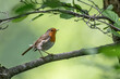 Close up of European Robin (Erithacus rubecula) perched on a twig