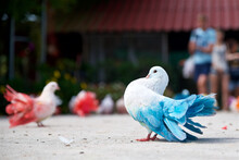 Blue Dove. Colorful Pigeon, Or...