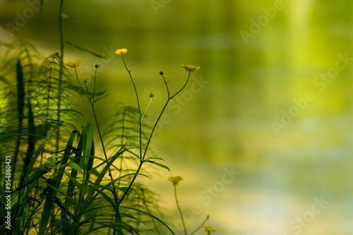Photo sunset in the grass. Ranunculus acris
