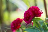Kwitnąca, różowa piwonia, w rozkwicie, w wiosennym ogrodzie