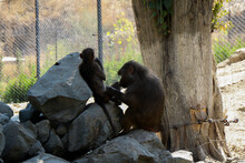 The Macaques Constitute A Genus Of Gregarious Old World Monkeys Of The Subfamily Cercopithecinae.