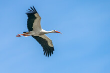 The White Stork (Ciconia Ciconia), Flying With Widely Spread Wings. Blue Sky. In The Netherlands, Europe.
