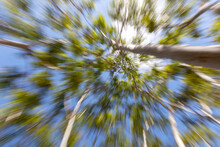Trees Seen From Below With Zoom Effect.Sense Of Motion To Infinity. Looks Like A Attraction To A Hole In The Sky. An Abstract Natural Sense, With Zoom Burst. Good For Wallpaper.