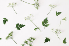 Spring, Summer Botanical Pattern. Floral Composition Of Blooming Green Cow Parsley, Anthriscus Sylvestris Plant On White Table Background. Wild Flowers Concept. Decorative Botanical Flat Lay, Top View