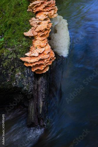 Valokuva Sulphur polypore fungi (Laetiporus sulphureus) specimen on wood log in flowing water river Sopot