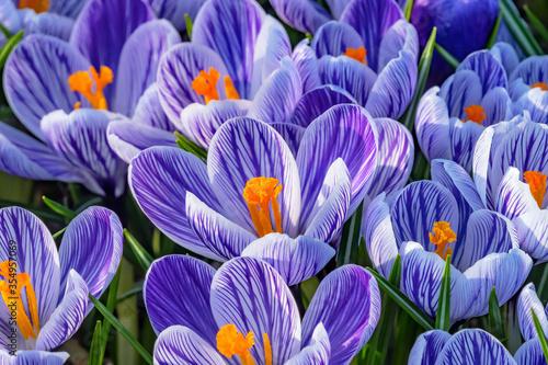 Blue White Purple Crocuses Blossoms Blooming Macro Washington