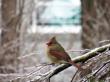 Close-up Of A Female Cardinal ...