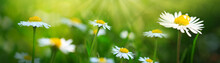 Daisies On Spring Green Meadow...