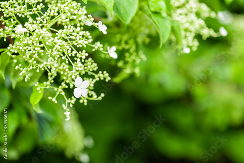 Obraz Springtime climbing hydrangea in the garden, close-up with soft blurred background - fototapety do salonu