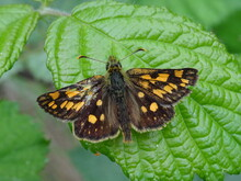 The Chequered Skipper (Carterocephalus Palaemon) On The Green Leaf In The Forest.