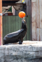 Sea Lion Shows Tricks With The Ball