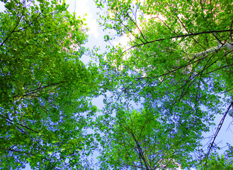 Green branches of birch tops against the blue spring sky.